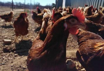 chicken-picture